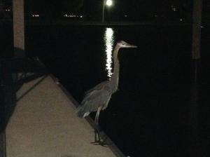 Evening Sarasota dock visitor