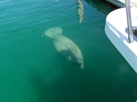 The neighborhood manatee comes visiting