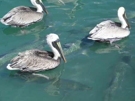 Pelicans and tarpon fight for fish scraps